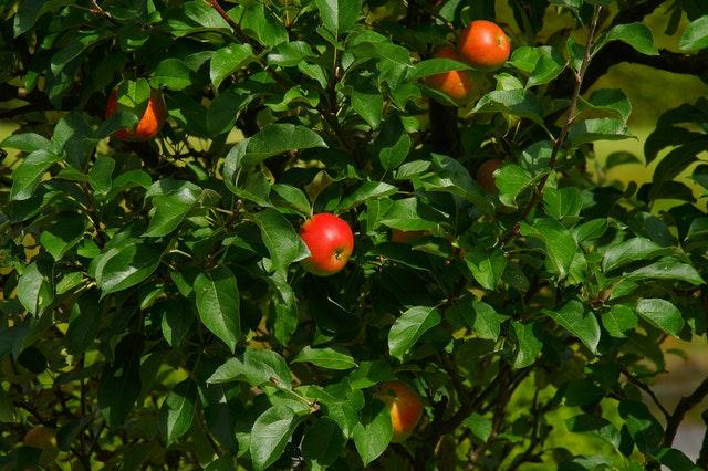 תפוחי - קונים רק תוצרת מקומית וישירות מהחקלאי